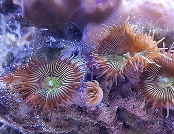 muskettikoira meriakvaario koralli
