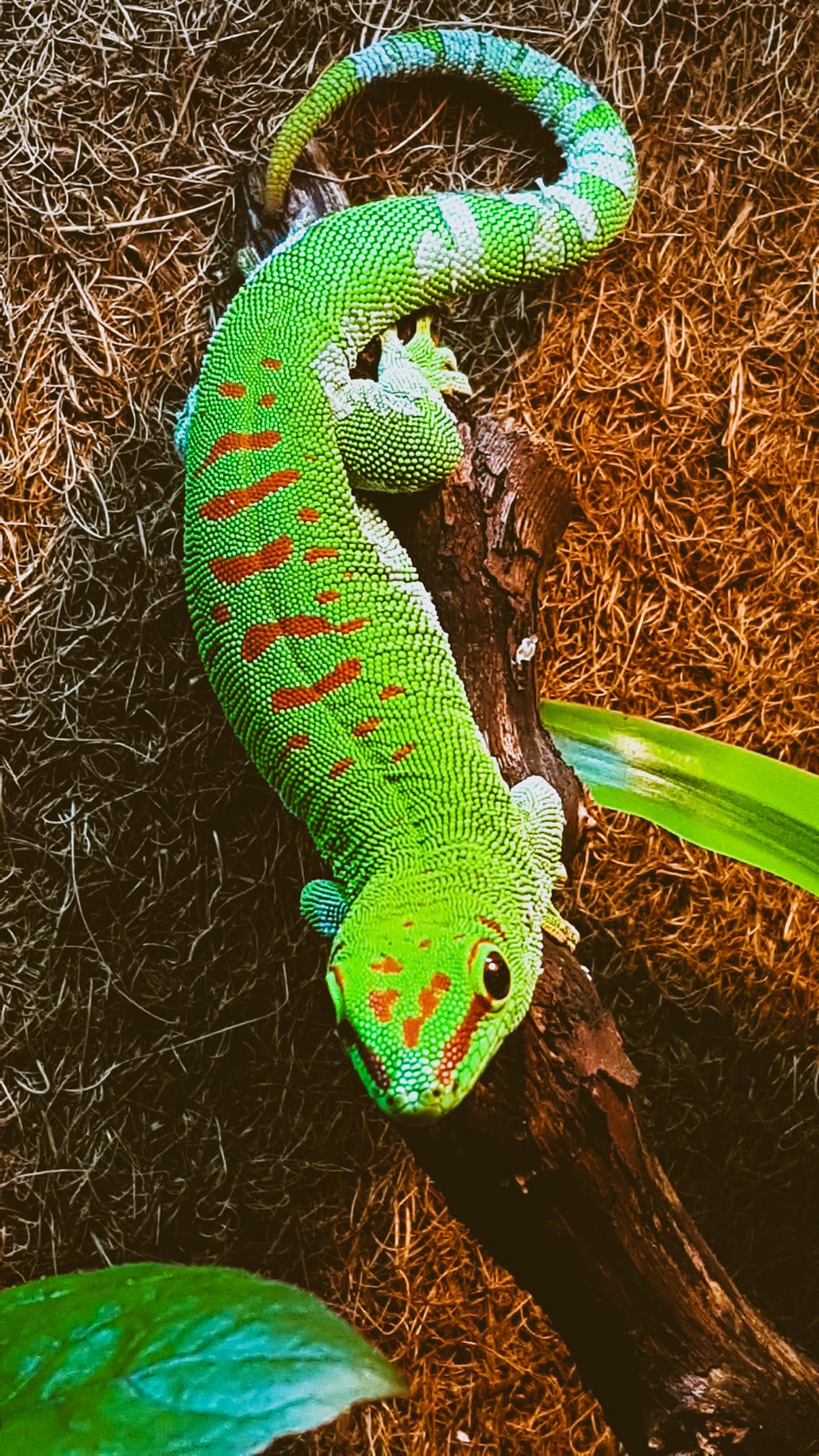 matelija vihreä lisko